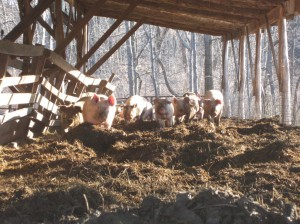 Some of the piggies from Polyface helping mix the compost.